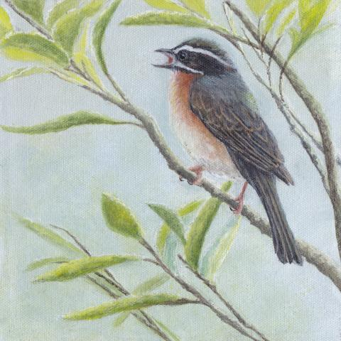 Plain-tailed Warbling-finch, Plain-tailed Warbling Finch, Plain-tailed Warbling-Finch by AFC