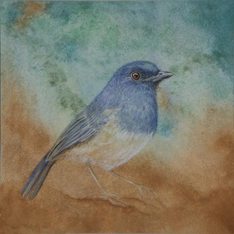 Nilgiri Blue Robin by AFC