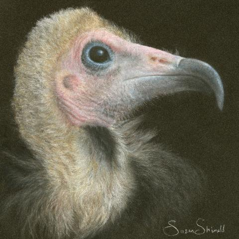 Hooded Vulture by AFC