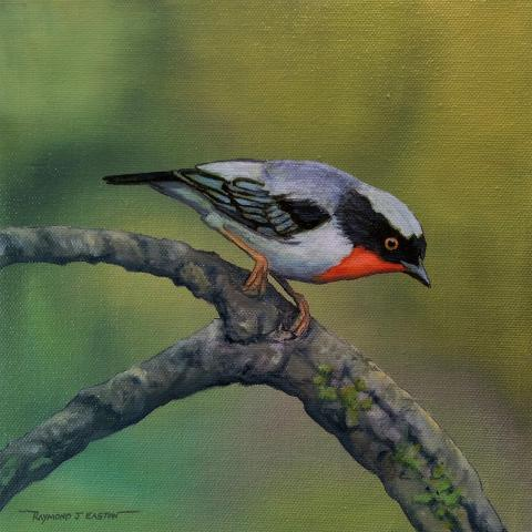 Cherry-throated Tanager by AFC