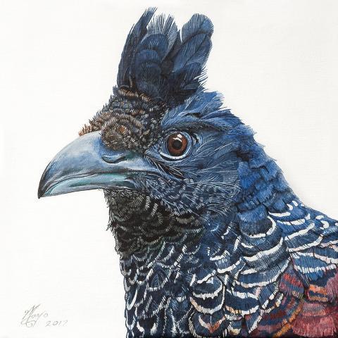 Banded Ground-cuckoo, Banded Ground Cuckoo, Banded Ground-Cuckoo by AFC