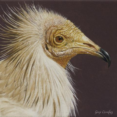 Egyptian Vulture, Egyptian Eagle by AFC