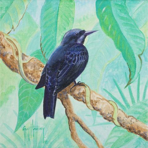 Jamaican Blackbird by AFC