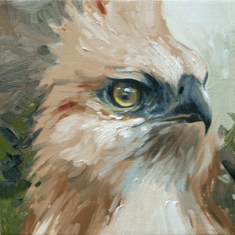 Flores Hawk-eagle, Flores Hawk-Eagle by AFC