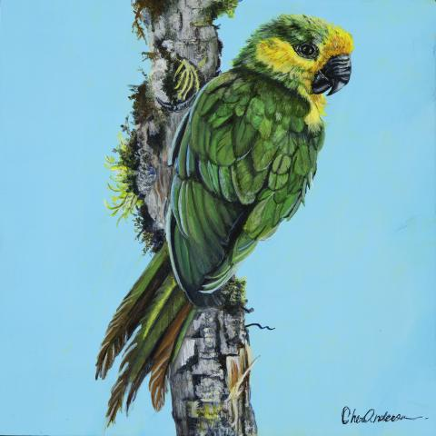 Yellow-eared Parrot, Yellow-eared Conure by AFC