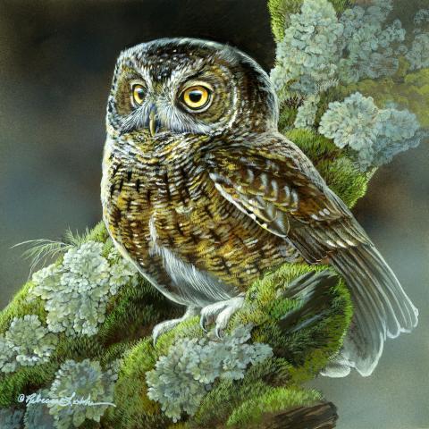 Grand Comoro Scops-owl, Karthala Scops Owl, Grand Comoro Scops-Owl, Comoro Scops-owl by AFC