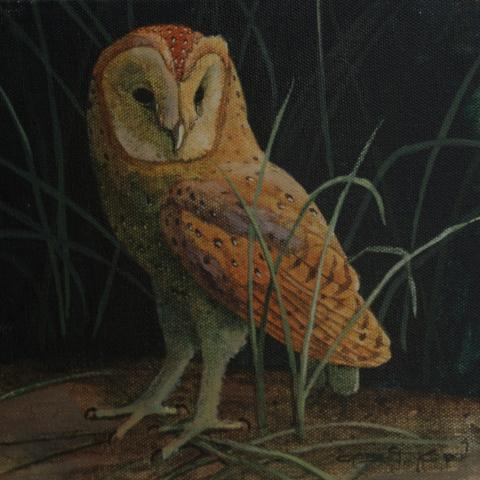 Congo Bay-owl, Congo Bay-Owl, Congo Bay Owl, African Bay Owl, Itombwe Owl by AFC