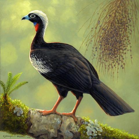 Black-fronted Piping-guan, Black-fronted Piping-Guan, Black-fronted Piping Guan, Black Fronted Curassow by AFC