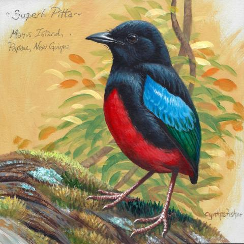 Superb Pitta, Black-backed Pitta by AFC
