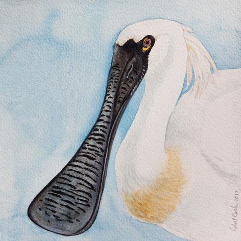 Black-faced Spoonbill by AFC
