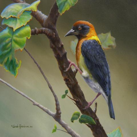 Golden-naped Weaver, Gold-naped Weaver by AFC