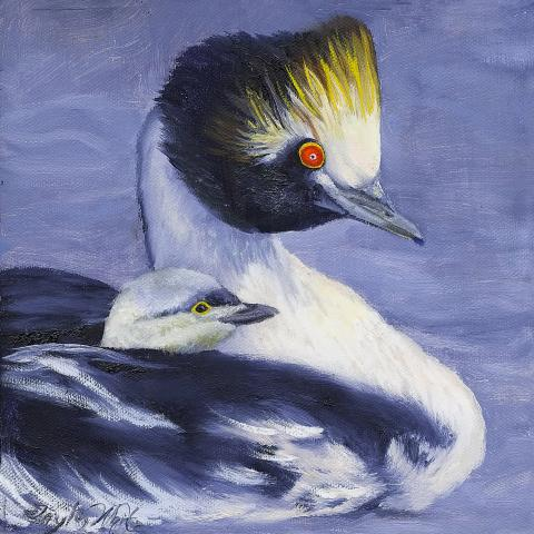 Hooded Grebe by AFC