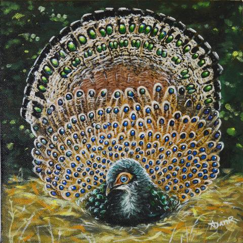 Bornean Peacock-pheasant, Bornean Peacock-Pheasant by AFC