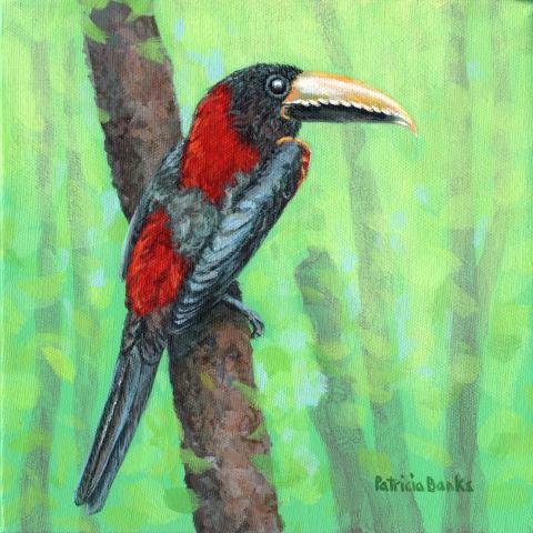Eastern Red-necked Araari by AFC