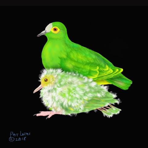 Negros Fruit-dove, Negros Fruit Dove, Negros Fruit-Dove by AFC