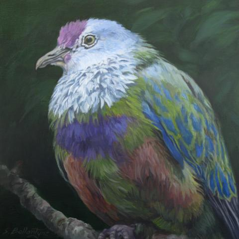 Mariana Fruit-dove, Mariana Fruit Dove, Mariana Fruit-Dove by AFC