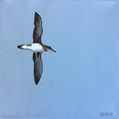 Hutton's Shearwater by AFC