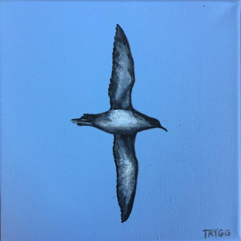 Balearic Shearwater by AFC