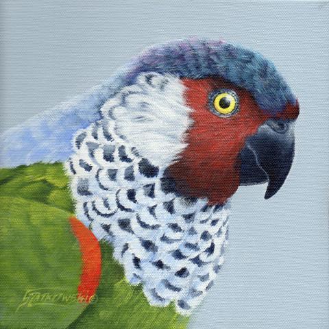 Perija Parakeet by AFC