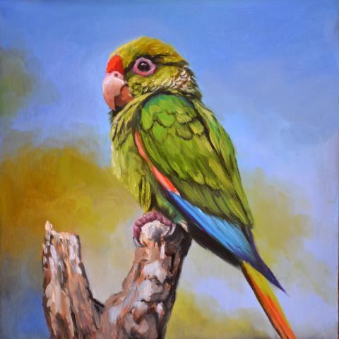 El Oro Parakeet, El Oro Conure by AFC