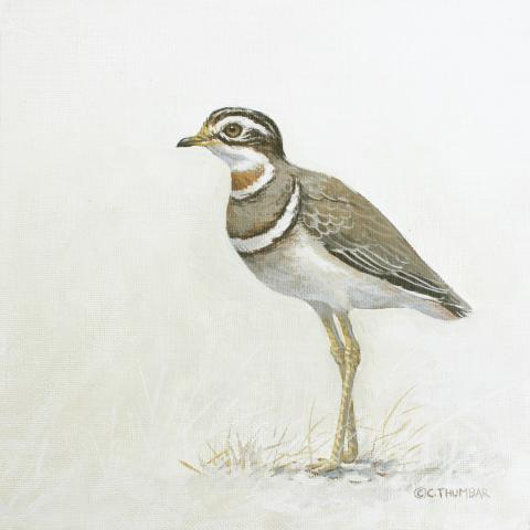 Jerdon's Courser by AFC