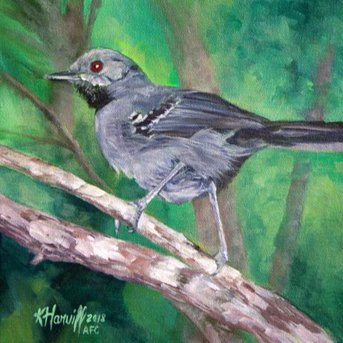 Slender Antbird by AFC