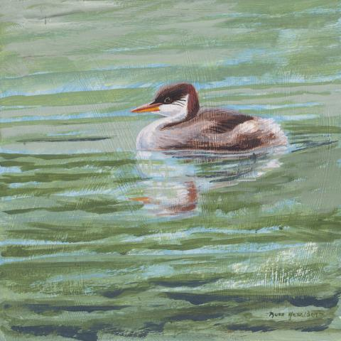 Titicaca Grebe, Short-winged Grebe by AFC