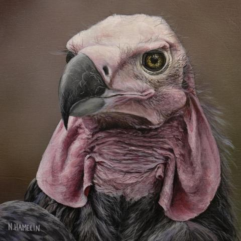 Red-headed Vulture, Indian Black Vulture, Pondicherry Vulture by AFC