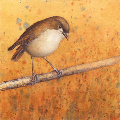 Usambara Akalat, Usambara Ground Robin by AFC