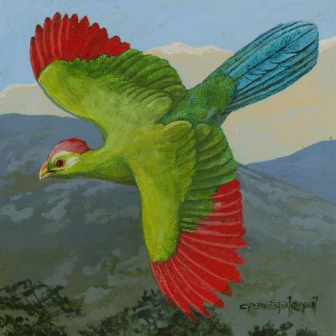 Bannerman's Turaco by AFC