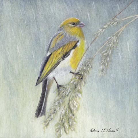 Nihoa Finch by AFC