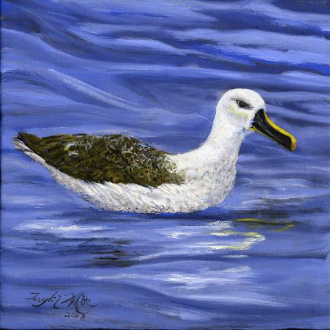 Atlantic Yellow-nosed Albatross, Yellow-nosed Albatross by AFC