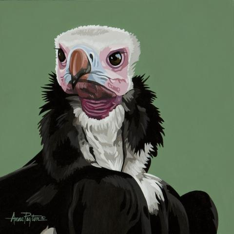 White-headed Vulture by AFC