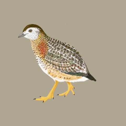 New Caledonian Buttonquail by AFC