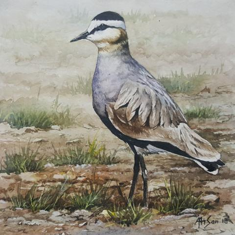 Sociable Lapwing, Sociable Plover by AFC