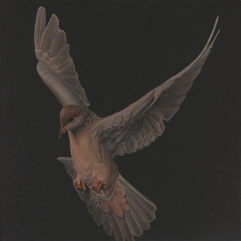 Socorro Dove by AFC