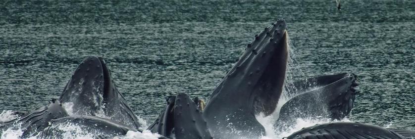 <em>Edit Conservation Project/Cause</em> Alaska Whale Foundation -  | Rick Geib