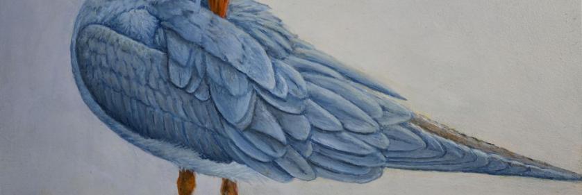 <em>Edit Conservation Project/Cause</em> Black-fronted Tern -  | Yvette Lantz