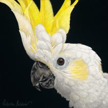 Yellow-crested Cockatoo, Lesser Sulphur-crested Cockatoo by AFC