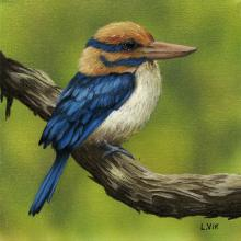 Bougainville Moustached Kingfisher, Moustached Kingfisher by AFC