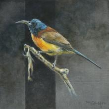 Elegant Sunbird, Sanghir Sunbird by AFC