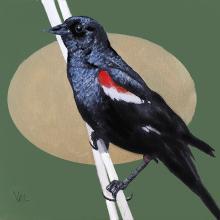 Tricolored Blackbird, Tricoloured Blackbird by AFC