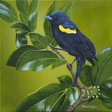 Yellow-shouldered Blackbird by AFC