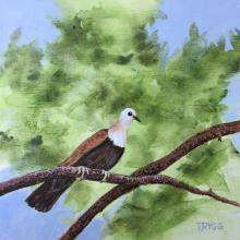 Wetar Ground-dove, Wetar Ground Dove, Wetar Ground-Dove by AFC