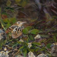 Sokoke Pipit by AFC