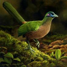 Sumatran Ground-cuckoo, Sumatran Ground Cuckoo by AFC