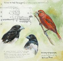 Cone-billed Tanager by AFC