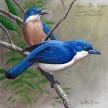 Comoro Blue Vanga by AFC