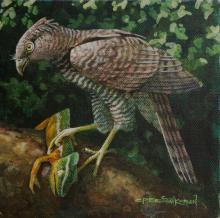 Madagascar Serpent-eagle, Madagascar Serpent-Eagle, Madagascar Serpent Eagle by AFC
