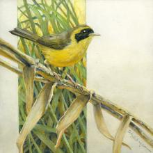 Belding's Yellowthroat by AFC